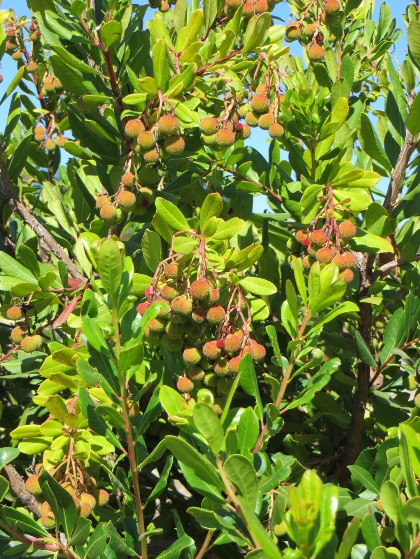 Picture of Live Compact Strawberry Tree aka Arbutus unedo 'Compacta' Plant Fit 5 Gallon Pot