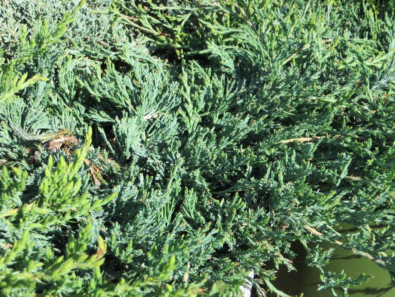 Picture of Live Blue Rug Juniper aka Juniperus h. 'Wiltonii' Plant Fit 1 Gallon Pot
