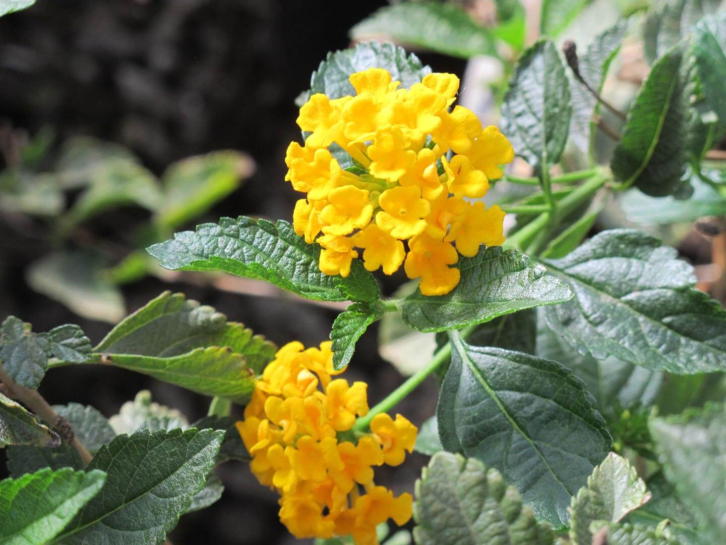 Lantana is a hanging plant originating from the continental United States in the tropics.