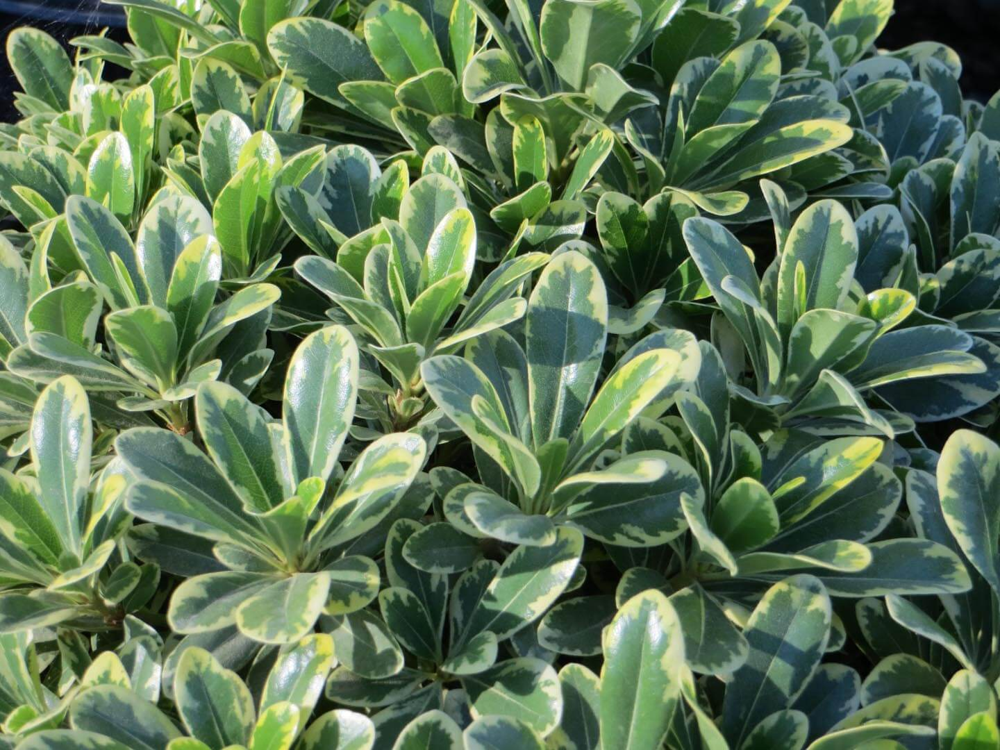 Pittosporum Tobira Dwarf Variegata Boething Treeland Farms