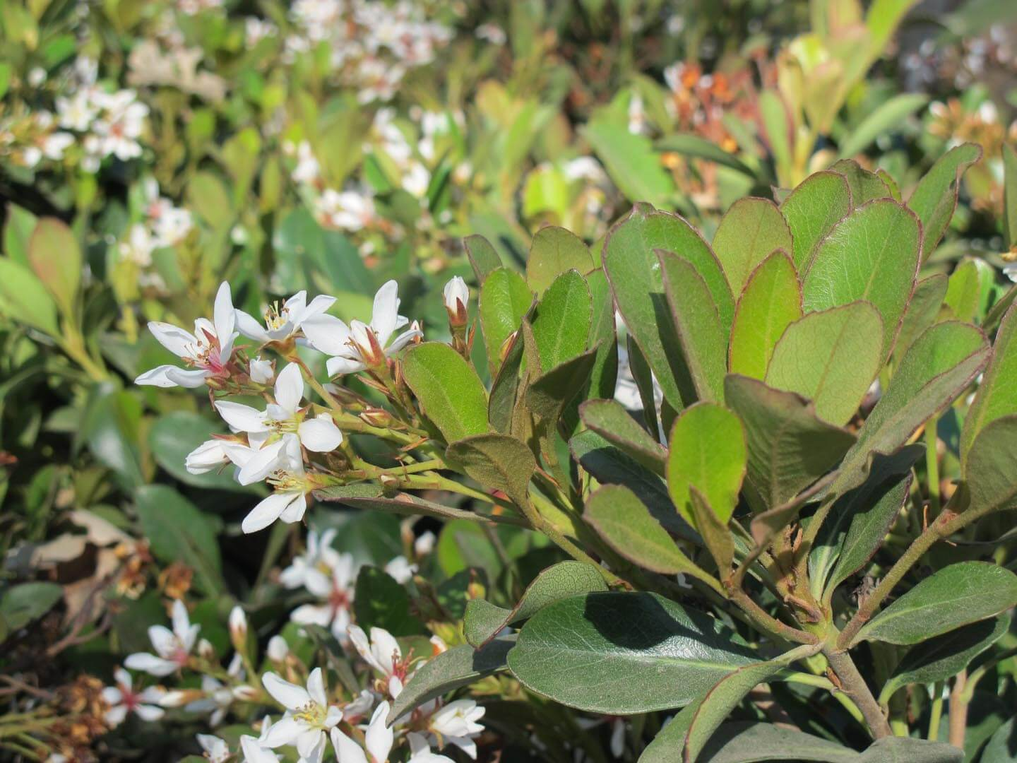 Picture of Live Clara Indian Hawthorne aka Rhaphiolepis i. 'Clara' Shrubs Plant Fit 1 Gallon Pot