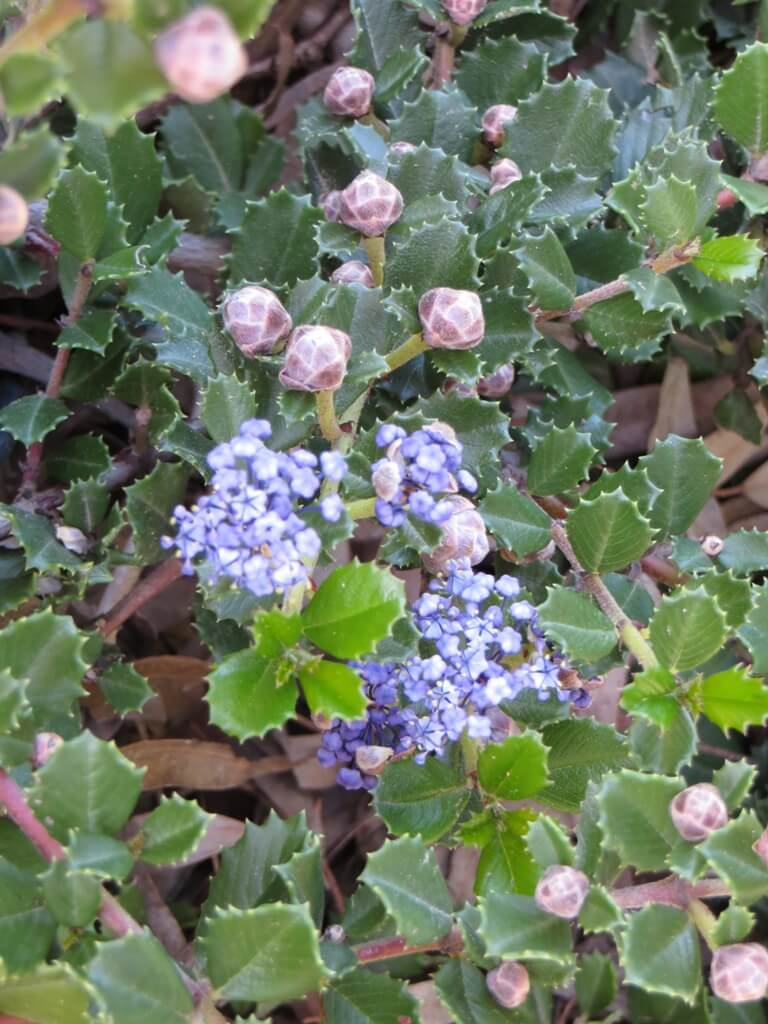 Picture of Live Anchor Bay Ceanothus aka Ceanothus g. 'Anchor Bay' Plant Fit 5 Gallon Pot